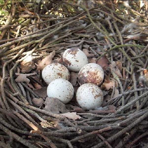 Nest with eggs.  Photo Mike Thornton