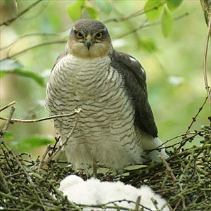 Female sparrowhawk.  Photo by Ian Todd