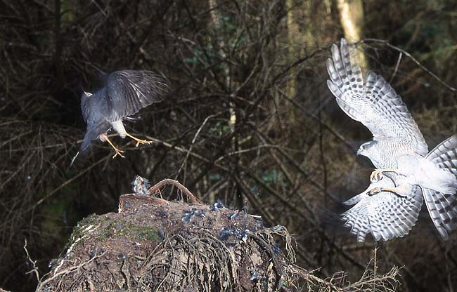 A food pass between male and female.  Photo Ian Todd