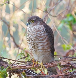 Juvenile male sparrowhawk.  Photo Lorne Gill