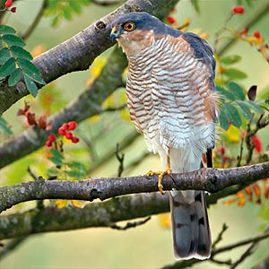 Male sparrowhawk.  Photo by Lorne Gill