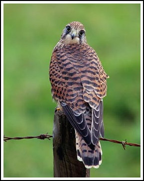 Kestrel female - Photo copyright laurie@lauriecampbell.com