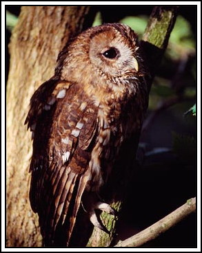 Tawny owl - Photo copyright laurie@lauriecampbell.com